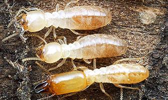 Schedorhinotermes_termites_335px