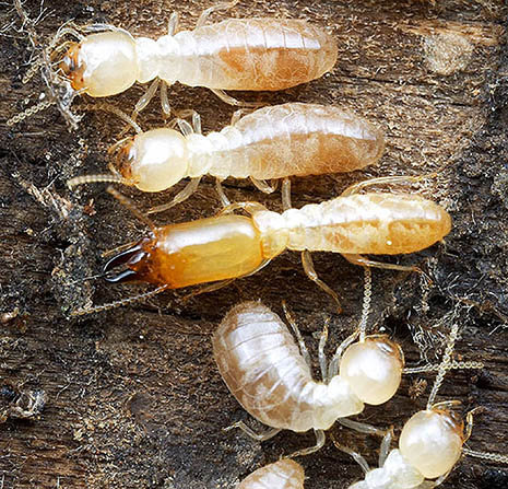 Schedorhinotermes_termites_465px