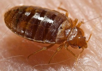 bed bugs_465px