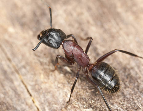 Queen Black Ants Black ants are small and black