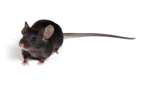 black rat_465px