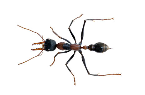 bull ants_465px