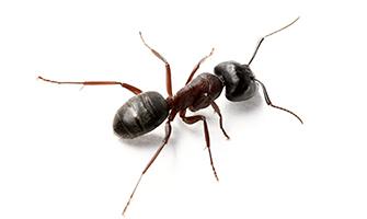 carpenter ants_335px