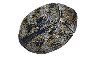 carpet beetles_335px