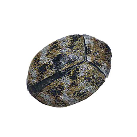 carpet beetles_465px