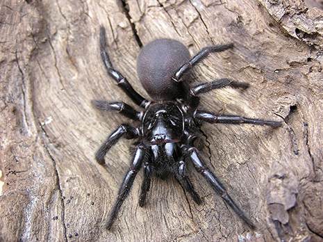 funnel web spider_465px