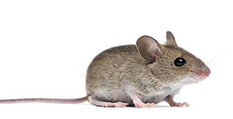 mice_335px