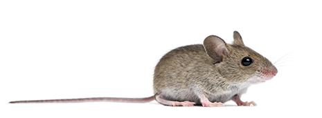 mice_465px