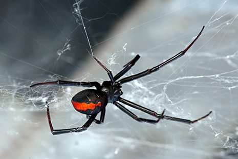 red-back spider_465px