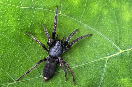 white-tailed spider_465px