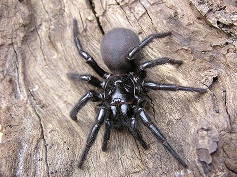 , Sydney's Main Spider Breeds