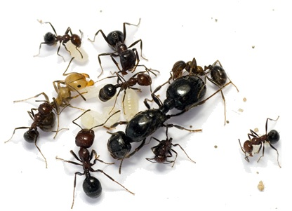 ants removal and treatment