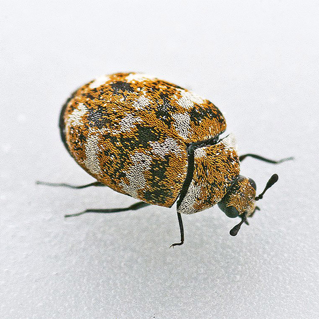 Carpet Beetles Removal, Carpet Beetles Control - Competitive Pest Control