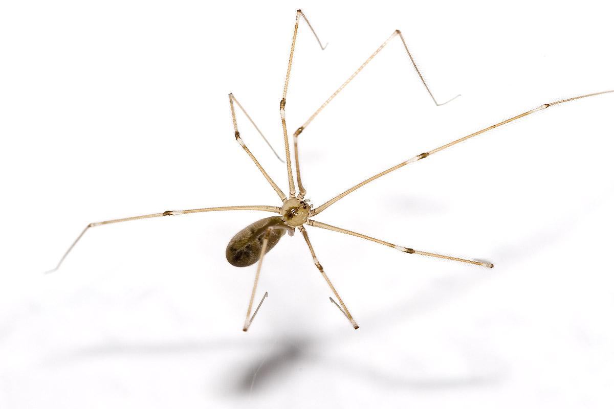 Daddy Long Legs - Spider Pest Control - Competitive Pest Control