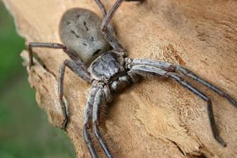 HUNTSMAN SPIDER control Sydney