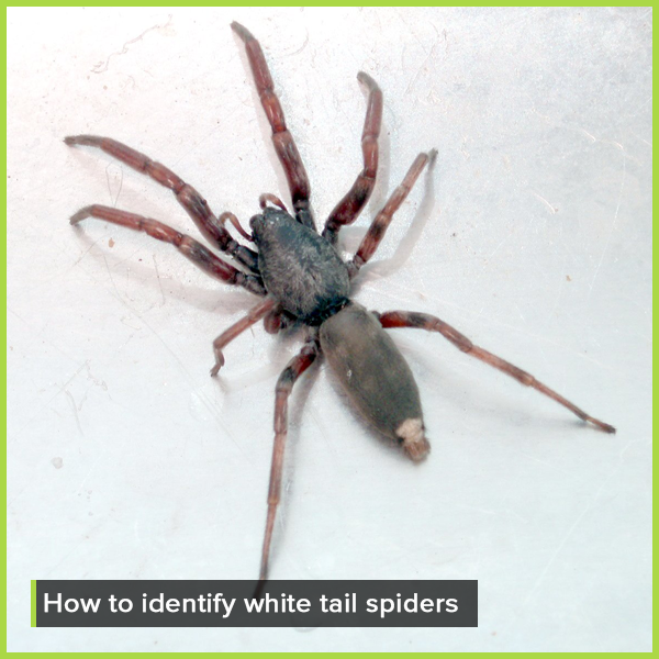 How to identify white tail spiders _ Competitive Pest Services
