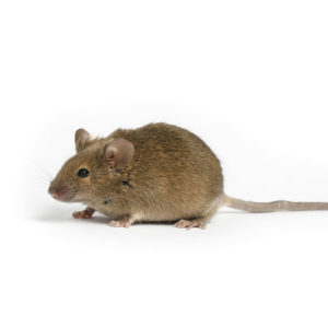 Mice - Residential Rodent Control - Competitive Pest Control