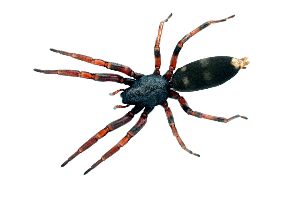 White-Tailed - Spider Pest Control - Competitive Pest Control